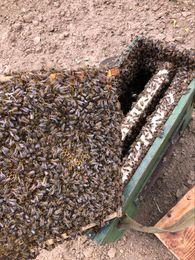 včelárstvo geraldína